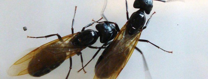 Carpenter Ants can hurt Log Homes